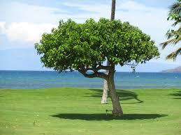 hawaii native plants kou hawaiian kou native kou cordia subcordata