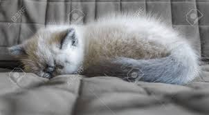 sleeping on short hair portrait sleeping exotic shorthair kitten on the couch stock photo
