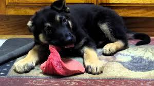puppy eats raw steak youtube