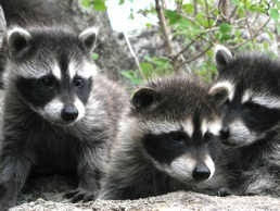 How To Get Rid Of Raccoons In Backyard How To Get Rid Of Raccoons Naturally Pest Control Products