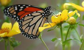 native plants of texas monarch garden grants bring back the monarchs to texas