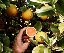 32 best trees plants images on tree planting citrus