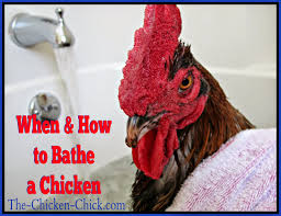the chicken how and when to give a chicken a bath
