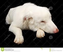 australian shepherd queensland white australian shepherd dog laying down stock photos images