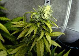 How Much Is A Case Of Bud Light Cannabis Light Burn U0026 Light Stress Symptoms Grow Weed Easy