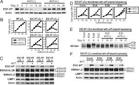 si e social lcl epstein barr virus nuclear protein ebna3c is required for cell cycle