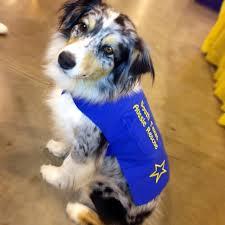 rescue an australian shepherd puppy south texas aussie rescue aussie