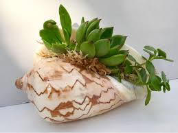 large shell planter with several succulent cuttings moss and