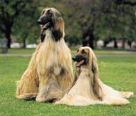 afghan hound pictures afghan hound pedigree ireland