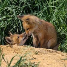 Iowa wild animals images Fox kits at play learn more about this iowa critter iowa dnr png