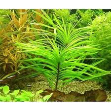 aquaswild world of live aquatic plants aquarium plants at