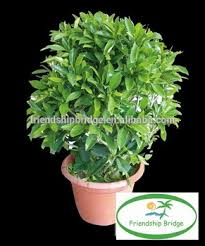 evergreen foliage fagraea ceilanicaof outdoor indoor landscaping