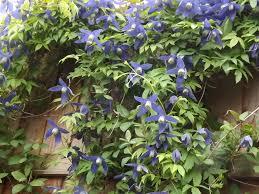 which clematis for which wall gardening forum gardenersworld com
