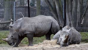 rhino killed for its horn inside french zoo rare old african