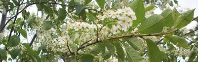 canadian choke cherry trees and bushes hardy ornamental