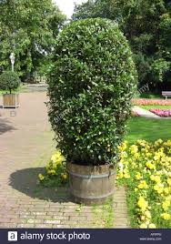 Bay Tree Topiary Sweet Bay Laurel Bay Tree Sweet Bay Laurus Nobilis Container