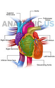 Human Anatomy Atlas 9 Best Anatomy Flashcards Images On Pinterest Anatomy Brain