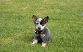 australian shepherd blue heeler sheila monster the blue heeler at 6 months ar15 com