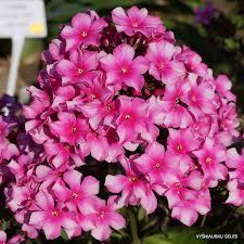 phlox flower miss elie daylily phlox eu