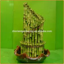 step by step tower lucky bamboo bonsai dracaena sanderiana indoor