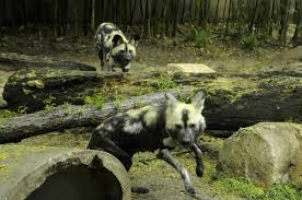 Alabama wild animals images African wild dogs join exhibit at birmingham zoo jpg