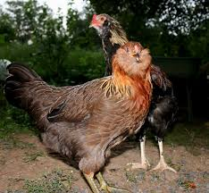 Chickens For Backyards by 15 Popular Breeds Of Chickens For Raising As A Backyard Flock