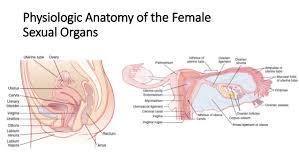 Pregnant Female Anatomy Diagram Female Physiology Before Pregnancy