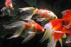jamaica could earn big money from ornamental fish exports