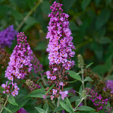 buddleia orchid pp28176 walters gardens inc