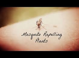 Mosquito Backyard Best 25 Mosquito Repelling Plants Ideas On Pinterest Insect