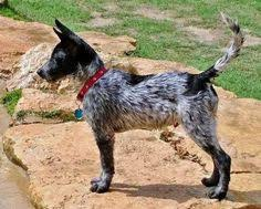 australian shepherd quesnel american staffordshire terrier australian cattle dog mix