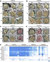 evolutionary co option of floral meristem identity genes for