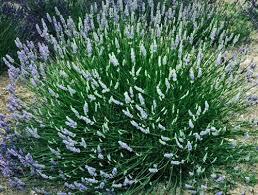 Fragrant Plants For Pots - amazon com findlavender lavender french provence blue flowers