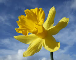 daffodil free photos 1378489 freeimages com
