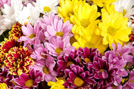 Picture Of Mums The Flowers - pom pon mum bouquets u2022 koolau farmers