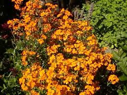 wall flowers wallflowers how to grow and care for wallflower plants erisimum