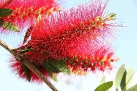 bottlebrush tree spiritual meaning thrive on news spiritual magazine