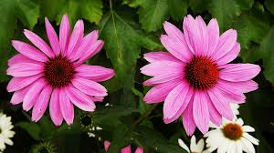 free photo purple coneflower pink flowers ornamental plants max