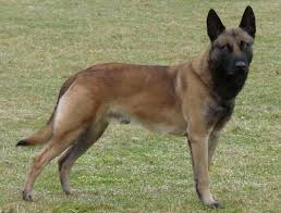 belgian malinois in ohio spanky is a 3 year old belgian malinois import from holland