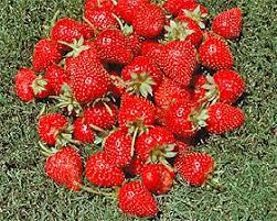 how to grow big luscious strawberries the san diego union tribune