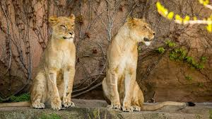 Lincoln Park Zoo Holiday Lights by Photos Lincoln Park Zoo Welcomes 2 Lionesses Abc7chicago Com