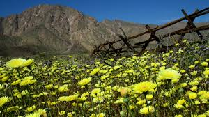 wildflower super bloom photos of the anza borrego desert anza