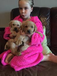 red golden lab puppies for sale kc reg anmer norfolk in kings