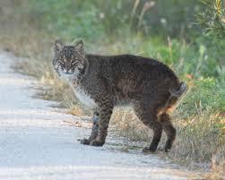 West Virginia wild animals images Wild cats the bobcat jpg