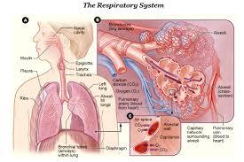 Human Anatomy Respiratory System Respiratory System Simple English Wikipedia The Free Encyclopedia