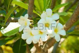 Trees With White Flowers Flowering Tree With White Flowers In Thailand Stock Photo Picture