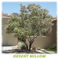 drought tolerant trees san diego tree barber inc