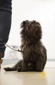 affenpinscher arizona view affenpinscher pic dog breeds wallpaper affenpinscher breeds