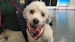 bichon frise 7 weeks old pet of the week 3 year old bichon frise named diego abc7 com