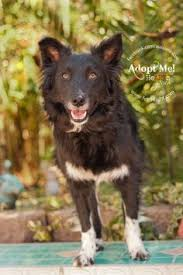 australian shepherd rescue san diego and friends toby lee is available to adopt from aussie rescue san diego http